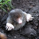 What is the difference between moles and gophers?