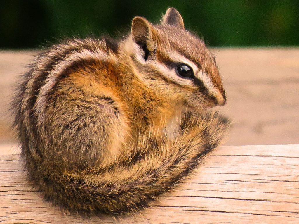 What are the effective chipmunk traps?