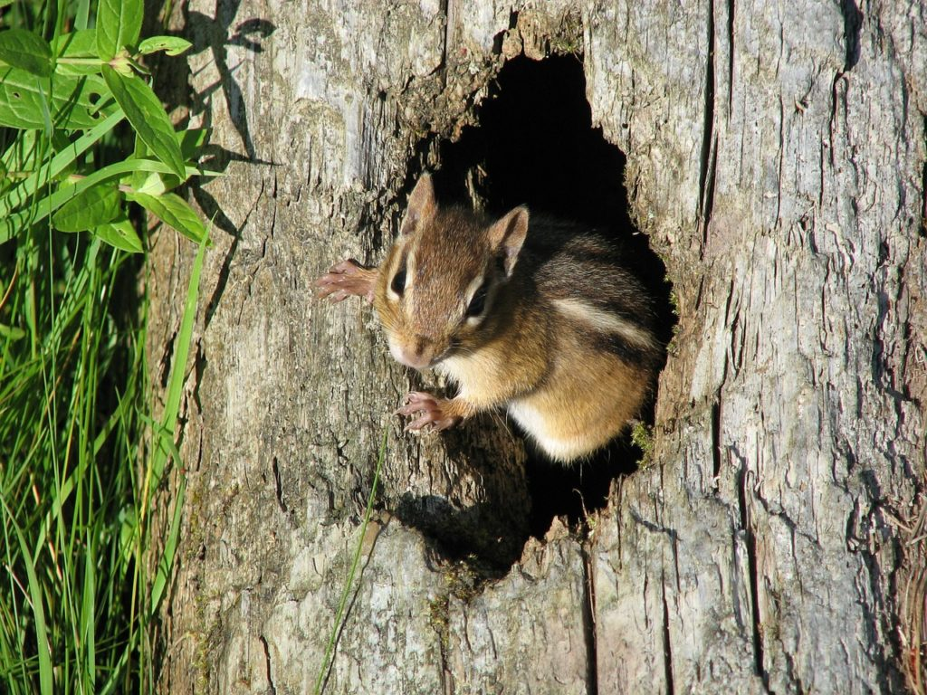 Protect your garden from chipmunks