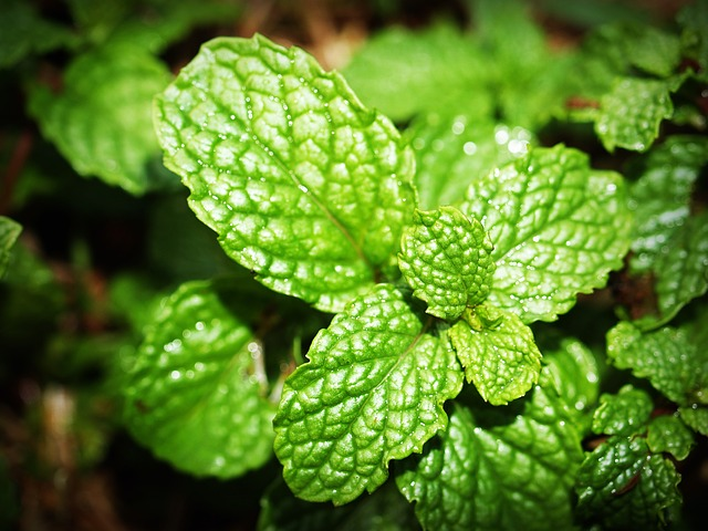 Peppermint oil as mouse repellent