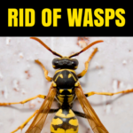 How to Get Rid of Wasp & Hornets