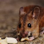 Best Bait for Mice: 17 Foods to Attract Mice to Traps