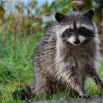 Raccoon with Rabies: Symptoms & Behavior of a Rabid Raccoon