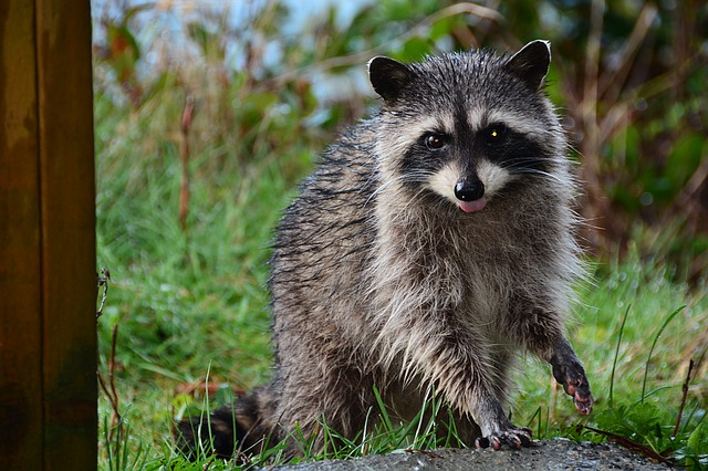 Signs of Raccoon with rabies