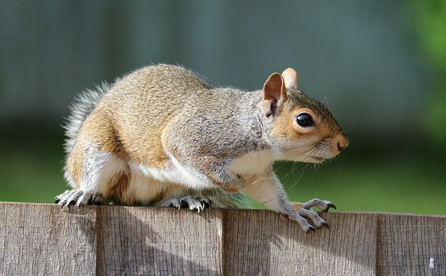Keeping squirrels out of fruit trees