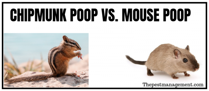 Difference between chipmunk and mouse droppings
