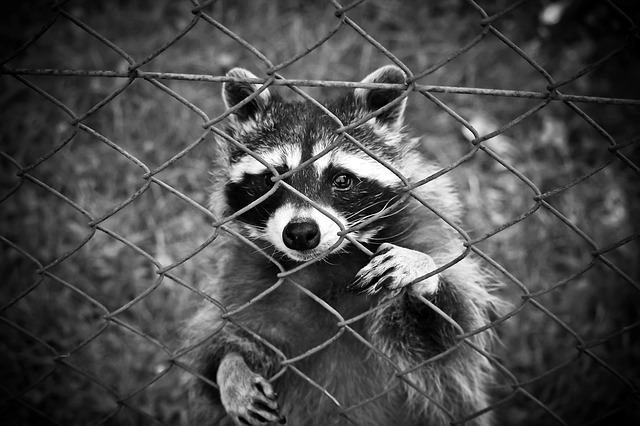 Raccoons Carry Rabies