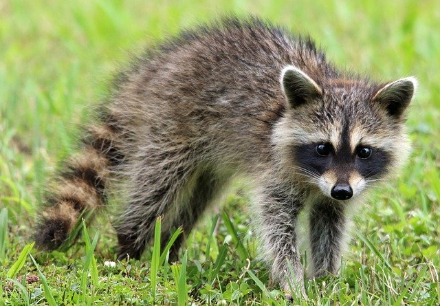 rabid raccoon sound