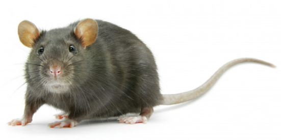 Antifreeze for rodents