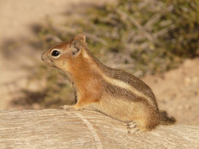 How to get rid of chipmunks with antifreeze
