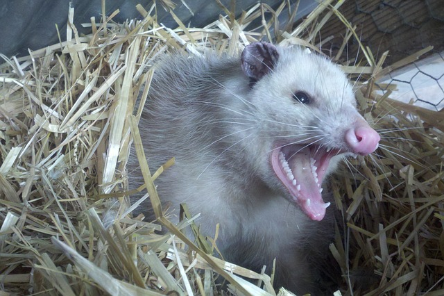 Noise of Opossum