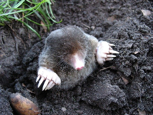 what does moles look like