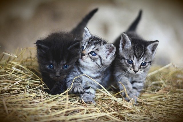 how to remove flea dirt from cats