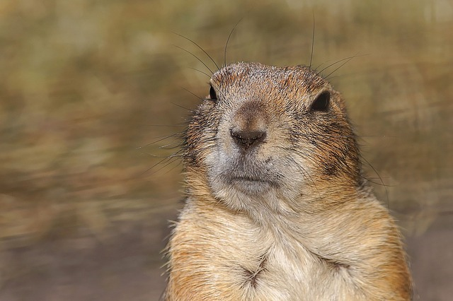 how to get rid of gophers with gopher traps