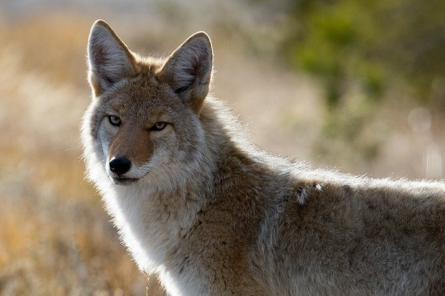 coyote urine to repel raccoons