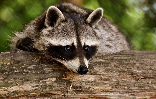 how to keep raccoons away without hurting cats