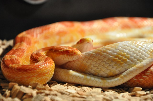 corn snakes for pet